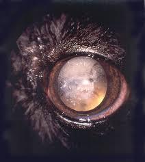 australian shepherd eyesight cataracts australian shepherd health u0026 genetics institute