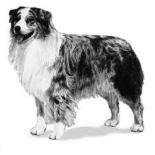 australian shepherd outline embark dog dna test breed