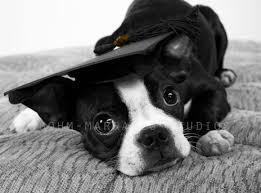 dog graduation cap and gown headshot bohm marrazzo