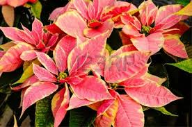 Plant Used As A Christmas Decoration Poinsettia Plants In Bloom Used As Traditional Christmas