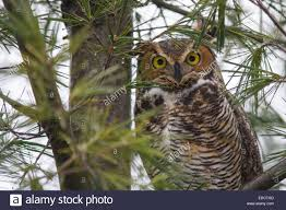 great horned owl in a pine tree stock photo royalty free image