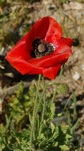 Opium Thyra The Corn Poppy And The Opium Poppy
