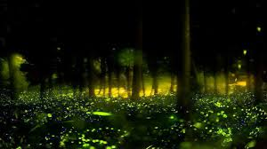 How Do Fireflies Light Up Fantastic Fireflies And Where To Find Them In Maharashtra India Com