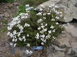 Native Roadside Flowers Of Banks Peninsula Christine Dann