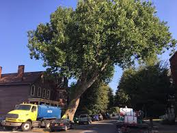 experts work to save buffalo s oldest tree wbfo