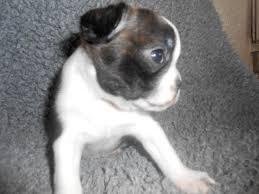 pug x boxer dog boston terrier puppies puppy dog gallery