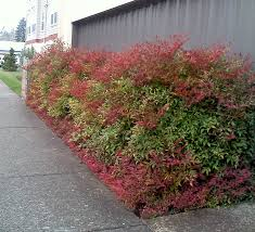 Toxic Nandina Berries Poison To Birds And Other Animals Read