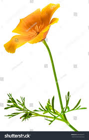 flower eschscholzia californica california poppy golden stock