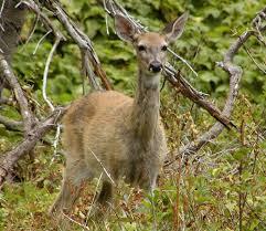 deer u0027hair loss syndrome u0027 fact sheet washington department of