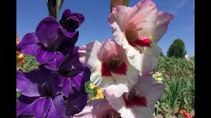gladiolus flowers amazing and most beautiful gladiolus flowers pictures