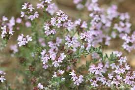 thym serpolet cuisine thym serpolet thymus vulgaris flori