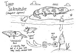 file tiger salamander cycle jpg wikimedia commons