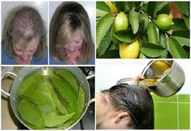 guava leaves can extremely 100 stop your hair loss and make it