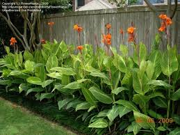 canna lilies photos of canna plants images landscaping