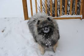 american eskimo dog vs keeshond cold weather dog breeds what to know