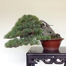 1090 best bonsai images on bonsai trees bonsai