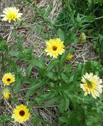 calendula with katydid friend 8 30 15 e2 80 8f jpg