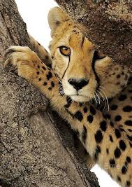 affectionate cheetahs wallpapers 374 best cheetahs images on pinterest baby cheetahs animal