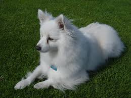 american eskimo dog calendar casper d dog hi my name is casper i am a mini american eskimo