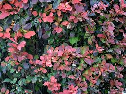 Fertilizer For Flowering Shrubs - barberry plant information u2013 growing and caring for barberry shrubs