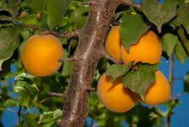 blenheim apricot tree ison u0027s nursery u0026 vineyard