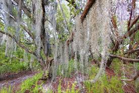 what is the moss hanging from trees in the south hunker