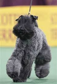 affenpinscher kennel stockholm crufts dog show pedigree pooches compete for u0027best in show u0027 title