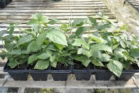 how to plant blackberries stark bro u0027s