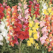 snapdragon flowers arrow mix snapdragon flowers and bulbs veseys
