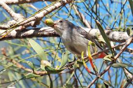 the mistletoe u2014 as australian as the gum tree