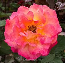 mardi gras roses beautiful roses beautiful flower pictures