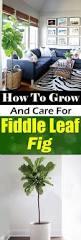 Fiddle Leaf Fig Tree Care fiddle leaf fig care how to grow fiddle leaf fig tree