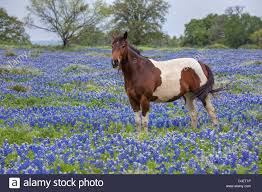 this image shows a horse in a field of texas bluebonnets each