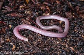 Blind Snake Hawaii Eurasian Blind Snake Reptiles Pinterest Reptiles