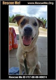 australian shepherd jacksonville florida australian shepherd rescue u2015 adoptions u2015 rescueme org