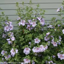 Patio Tree Roses by Azurri Blue Satin Rose Of Sharon Hibiscus Syriacus Proven