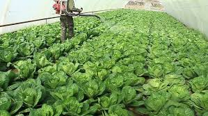 Plants Diseases And Treatment - farmer fertilizes cabbage in a greenhouse gasoline sprayer
