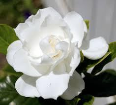 gardenia flower gardenia flowers