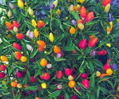 101 best gorące papryczki chili peppers images on