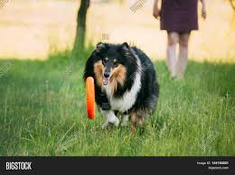 australian shepherd vocal shetland sheepdog sheltie collie play with plate outdoor in