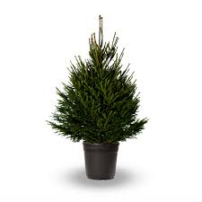 3ft spruce tree pot grown real live keep in pot