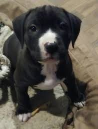 american pitbull terrier 4 weeks american pitbull terrier puppies in hoobly classifieds