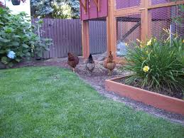 backyard chickens can be friends to gardens wisconsin public radio