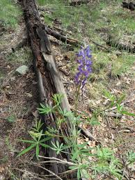 flagstaff native plant and seed l is for lupine and locoweed why is arizona so