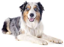 australian shepherd eye diseases australian shepherd breed guide dog insurance petfirst