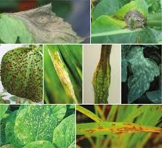 Viral Disease In Plants Page 489 Fungal Effectors And Plant Susceptibility