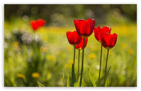 tulips flowers tulips flowers nature 4k hd desktop wallpaper for 4k ultra