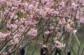 cherry blossoms sakura viewing guide
