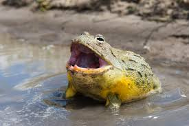 a guide to pet african bullfrogs