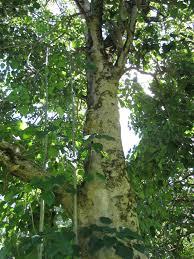 jatropha wikipedia gmelina arborea useful tropical plants